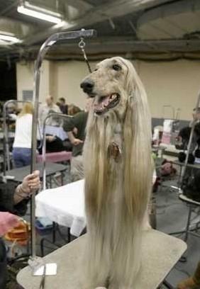 赛级犬的判定标准
