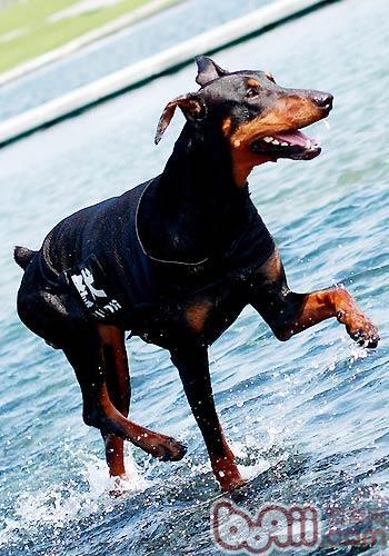 训练狗狗匍匐前进的方法