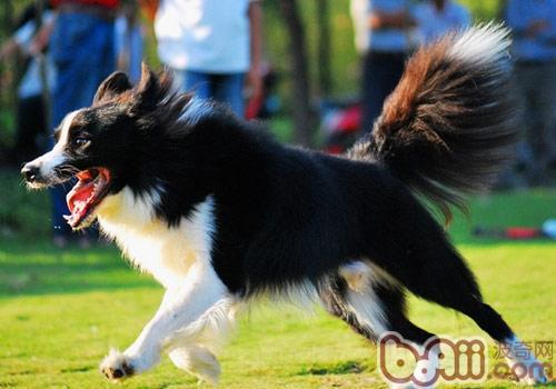 狗狗家庭防卫运动的训练