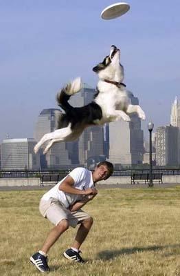 训练狗狗叼回飞盘七大要素