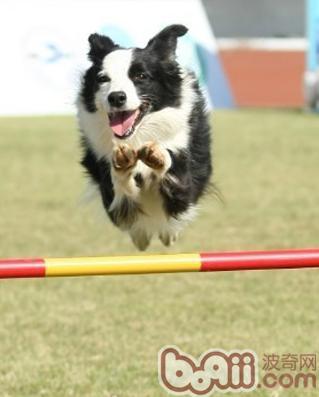 训练宠物狗学会跳高的方法