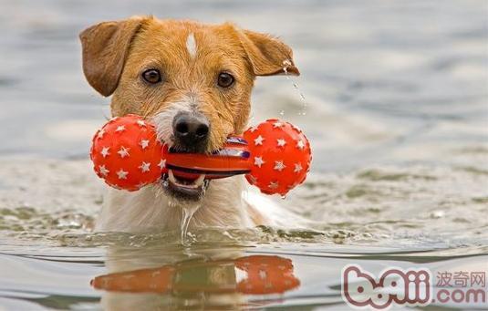 让狗狗成为游泳健将的办法