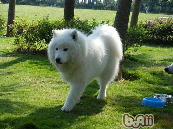 帮助训练萨摩耶犬的四大方法