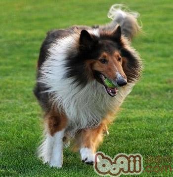 怎么训练苏格兰牧羊犬的胆量