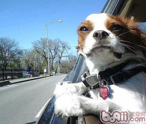自驾带狗的训练方法