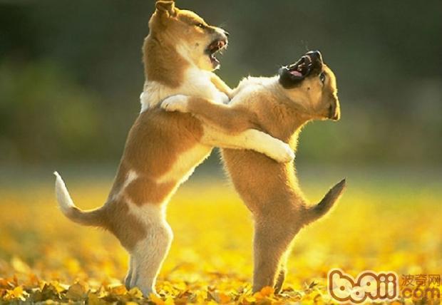 为你解析狗狗打架的原因