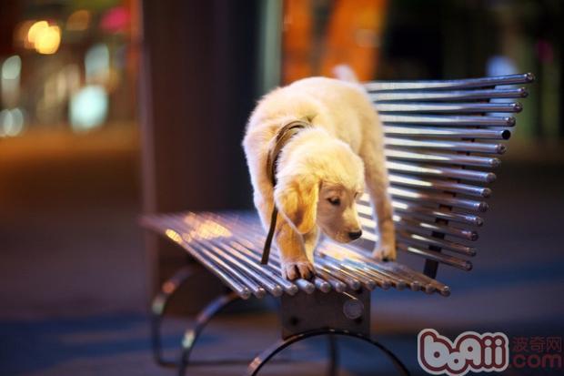 胆小狗狗训练要点