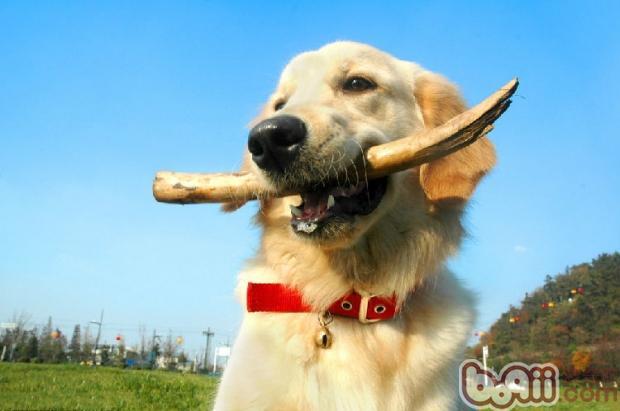 如何训练幼犬基本技能