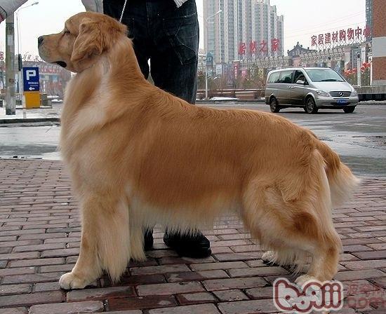 金毛犬的随行及坐立的训练要点