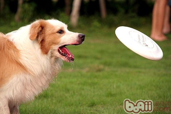 训练狗狗接飞盘前的准备