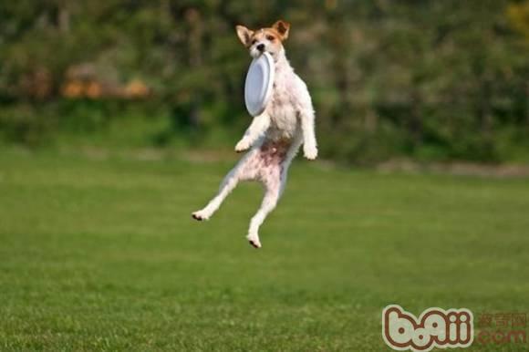 训练狗狗接飞盘的方法