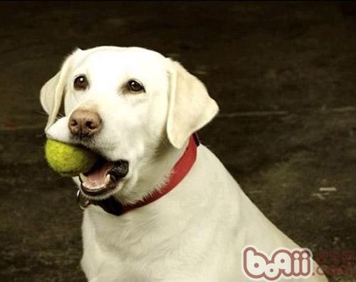 狗狗换牙期训练应注意赏罚分明