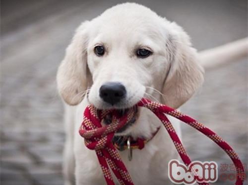 正确使用狗链能起到训练作用