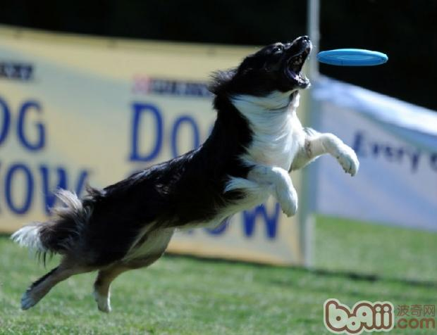 狗狗玩飞盘的训练要点