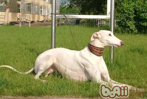 灵缇犬的训练方法