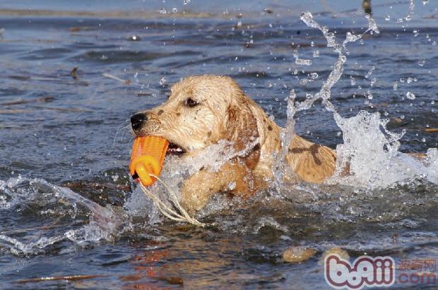 训练狗狗游泳的三个要点