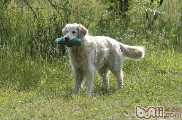 如何训练狗狗放下口中的食物