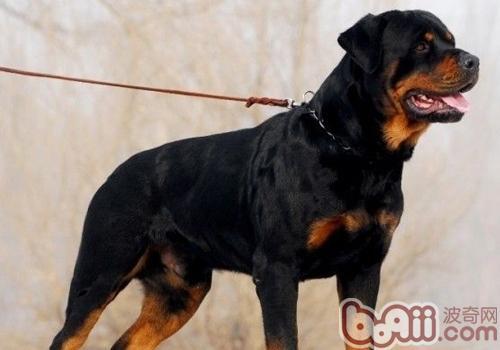 如何改善狗狗的攻击性强的问题