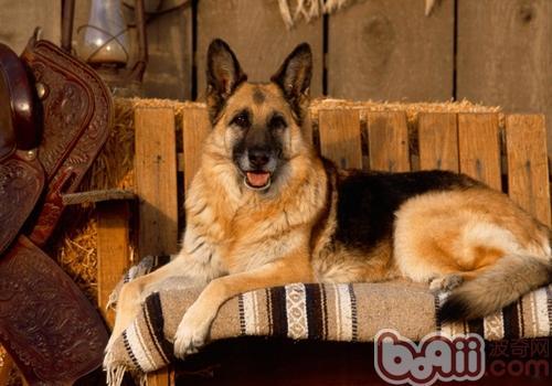 德国牧羊犬训练注意事项