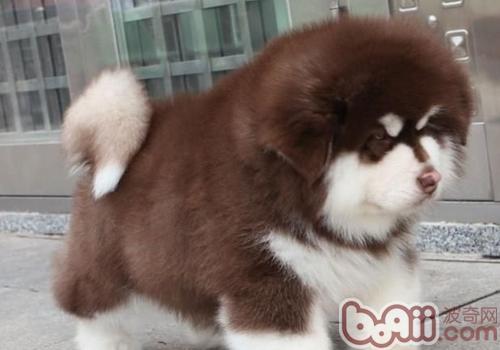 怎样训练阿拉斯加狗