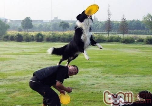 如何训练狗狗接飞盘