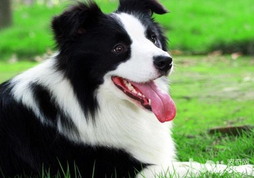 边境牧羊犬容易训练吗