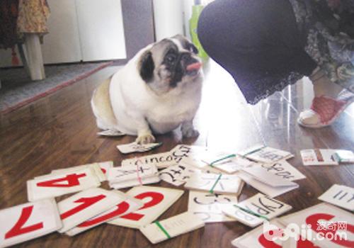 怎样训练狗狗算数