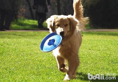 如何训练狗狗叼东西