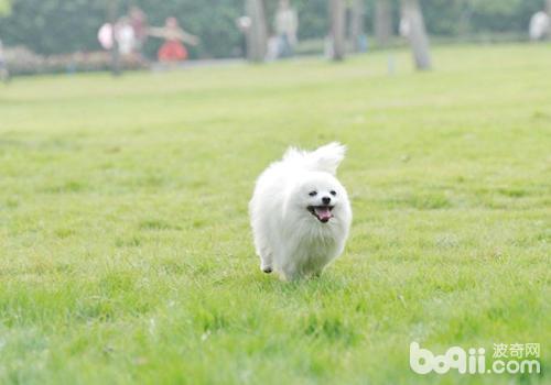 博美犬的基本训练