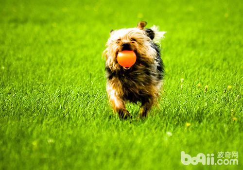 如何进行狗狗的召回训练