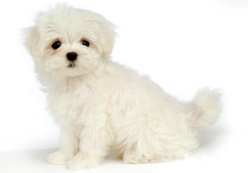 玩赏犬训练要注意什么