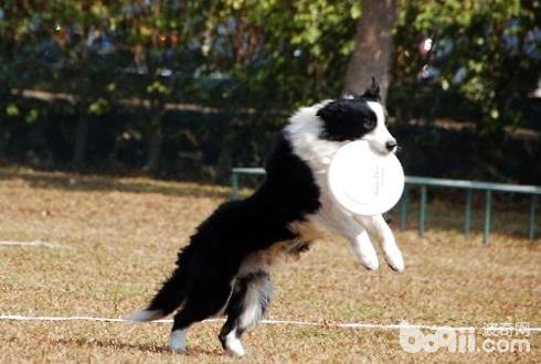 狗狗接飞碟怎么训练 狗狗接飞碟训练技巧