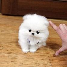 茶杯犬训练 茶杯犬训练技巧介绍