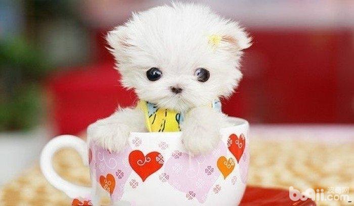 茶杯犬喜欢抓咬家具如何处理