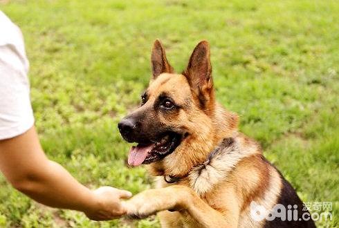 怎么教狗狗握手 狗狗握手训练