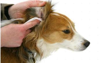 狗狗怎么用耳朵表达情绪?