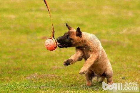 狗狗衔物怎么训练?狗狗衔物训练技巧
