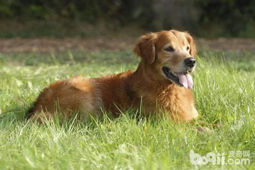狗狗随便吃别人给的东西怎么办 狗狗随便吃别人给的东西怎么训练
