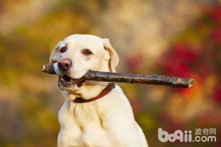 训练狗狗之前不可不知的事项