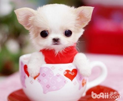 如何对茶杯犬进行社会化训练?