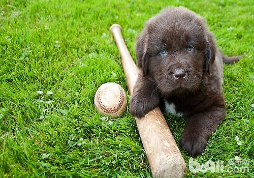 纽芬兰犬训练技巧,训练纽芬兰犬定点大小便的方法