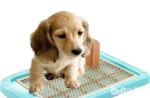 宠物狗怎样训练大小便