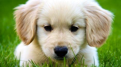 怎样训练金毛狗狗