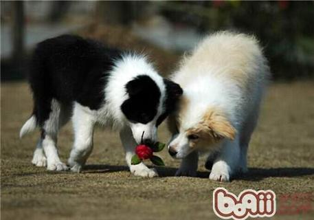 边境牧羊犬如何训练才能有好效果?