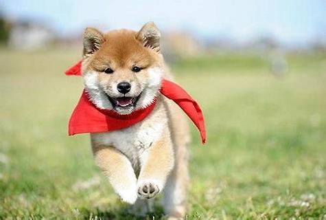 想知道如何训练我们的柴犬幼犬吗?网友看了都叫好!