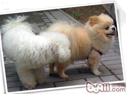 引发狗狗肛门腺炎的病因以及识别方法