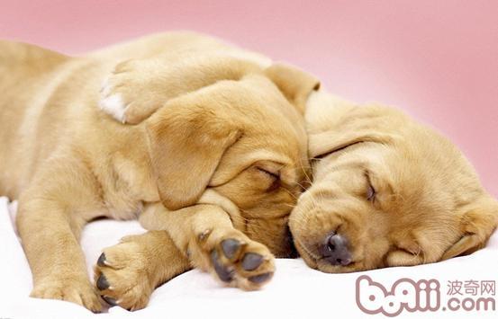 引起犬髋关节发育不良的病因以及症状
