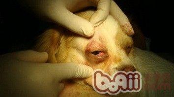 狗狗得了犬第三眼睑增生的症状及诊治