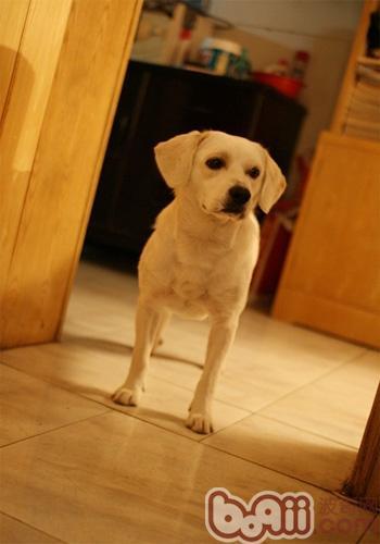 关于犬只绝育以及手术注意事项
