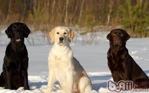 犬只CHD髋关节发育不全症知识的整理